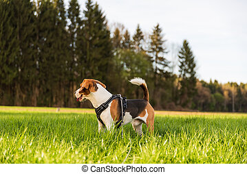Happy Beagle dog standing in green grass at rural field.
