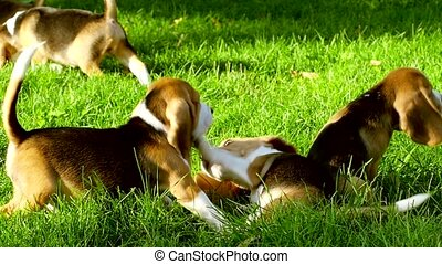 Happy beagle dogs in Park. Slow motion