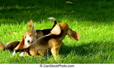 Happy beagle dogs in Park. Slow motion - Happy beagle dogs...