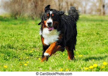 happy Beautiful Bernese mountain dog runs are fun