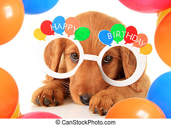 Happy Birthday puppy - A Irish setter puppy wearing Happy...