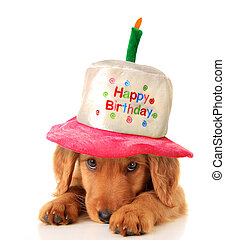Happy birthday puppy - A golden retriever puppy wearing a...