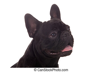 Happy black dog - Crossbreed cute puppy in a studio having a...