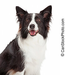 Happy Border Collie Closeup - Happy Border Collie Dog...