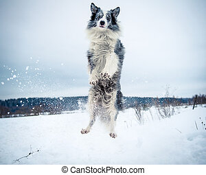 Happy border collie dog jumping