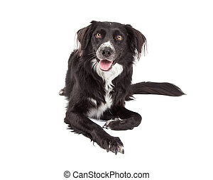 Happy Border Collie Mix Breed Dog Laying - A very happy...