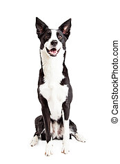 Happy Border Collie Mix Breed Dog Sitting - A very happy and...
