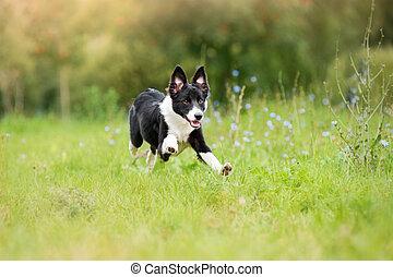 border collie puppy running through a meadow - happy border ...