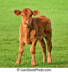 Happy little calf standing on fresh grass in the sunlight and looking into the camera