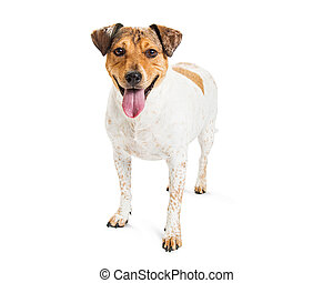 Happy Cattle Dog Crossbreed on White