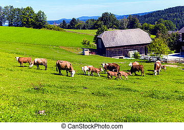 many happy cows and their calves in a pasture a farmer. animal husbandry in agriculture