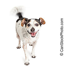 Happy Crossbreed Dog Wagging Tail - Cute little Jack Russell...