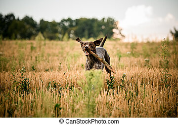 Happy dark brown dog running in the field with a stick in his teeth