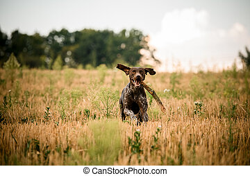 Happy dark brown dog running through the field with a stick in his teeth