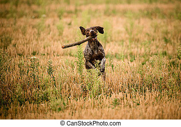 Happy dark brown dog running through the golden field with a stick in his mouth