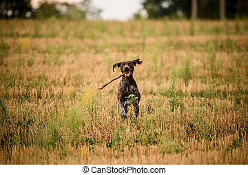 Happy dark brown dog running through the golden field with a stick in his teeth