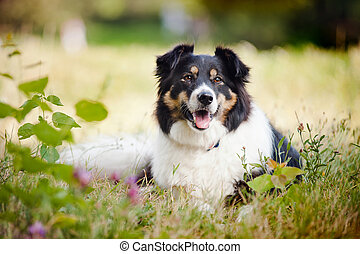 happy dog border collie laying on the grass