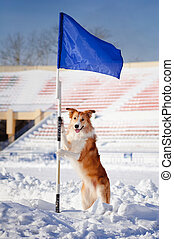 happy dog border collie with flag