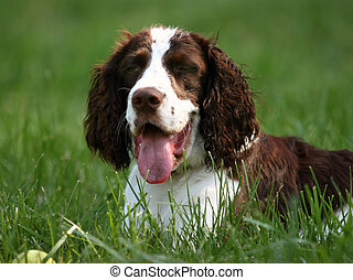 Happy dog (english springer spaniel) is resting in the grass