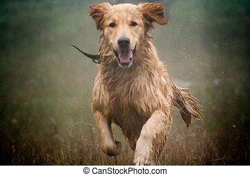 Happy dog Golden Retriever running in the rain