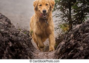 Happy dog Golden Retriever running