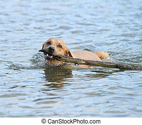 Happy dog in water with stick