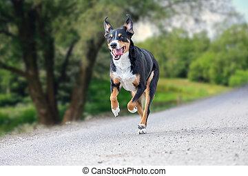 happy dog is running with flappy ears, Appenzeller Sennenhund