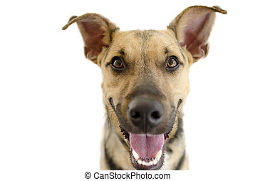Hapy dog isolated on white is a cute funny enthusiastic German Shepherd with a great big happy smile on his face.
