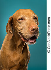 happy dog portrait is studio