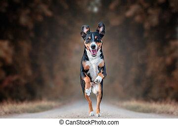 Happy Dog running fast with floppy ears, appenzeller sennenhund