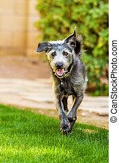 Happy Dog Running in Yard