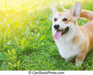 Happy dog Welsh Corgi Pembroke in summer day