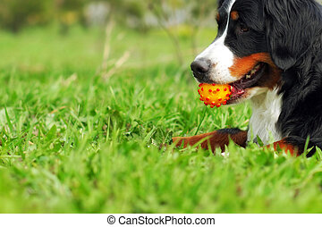 happy family dog Bernese mountain dog lying on the grass in the summer and holds the teeth in a ball
