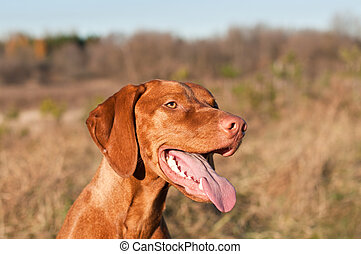 Happy Female Vizsla Dog with Tongue Hanging Out