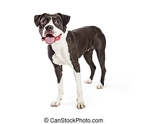 Happy excited standing boxer dog  Excited mixed boxer breed