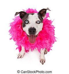 Happy Friendly Pit Bull Wearing Feather Boa - A happy and...