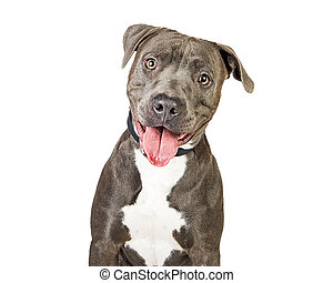 Happy Friendly Smiling Pit Bull Dog - Friendly grey color...