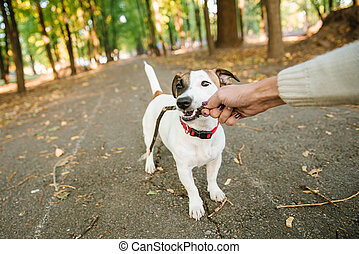 happy funny jack russel terrier dog walking and playing with stick in autumn forest