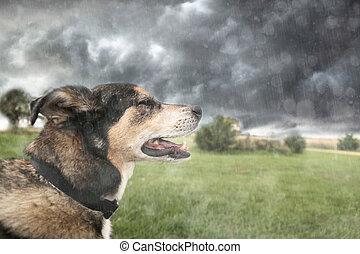 Happy German Shepherd Dog Basking in Rain During Thunderstorm