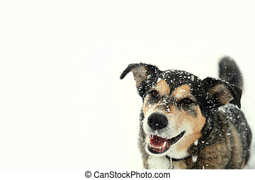 Happy German Shepherd Dog Outside Covered in Snow on Winter Day