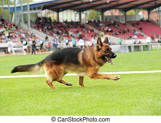 Happy german shepherd playing on stadium