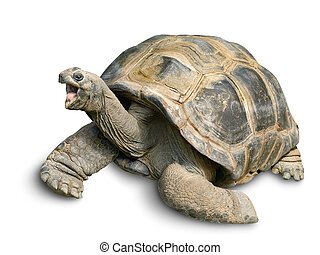 Animal portrait of a beautiful giant tortoise looking funny and cheerful, isolated on white