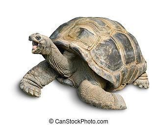 Happy Giant tortoise on white - Animal portrait of a ...