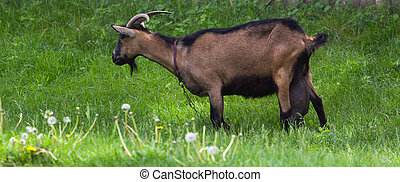 Goat on green grass - Happy Goat on green grass