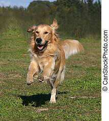 happy golden - purebreed golden retriever running