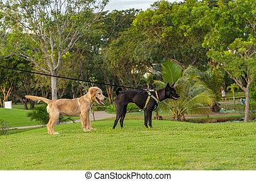 Happy golden retriever and ridgeback dog standing on grass field