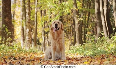 Happy golden retriever dog sitting in the autumn park -...