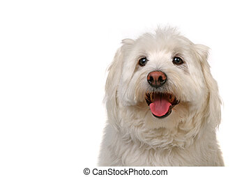 Happy Healthy Dog - Happy Go Lucky White Dog Panting on...