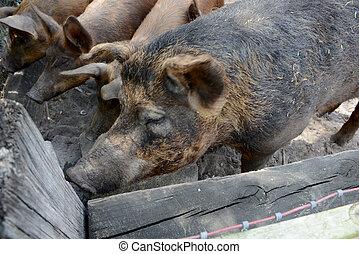 hogs on a farm