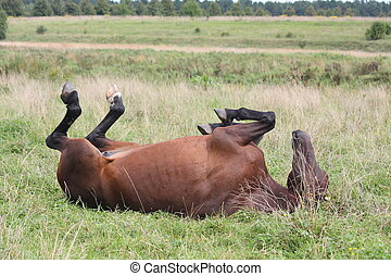 Happy horse rolling in the grass at the field